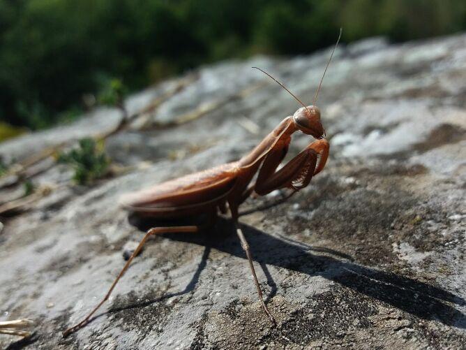 Modliszka zwyczajna (Mantis religiosa) (Jacek Proszyk)
