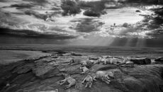 """""""The last great picture"""" Michael Nichols, USA - Wildlife Photographer of the Year 2014"""