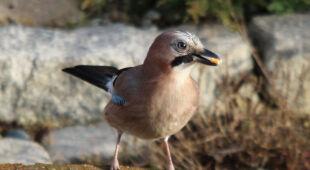 Ptaki zimową porą w obiektywie Reporterki 24 barmy (Kontakt Meteo/barma)