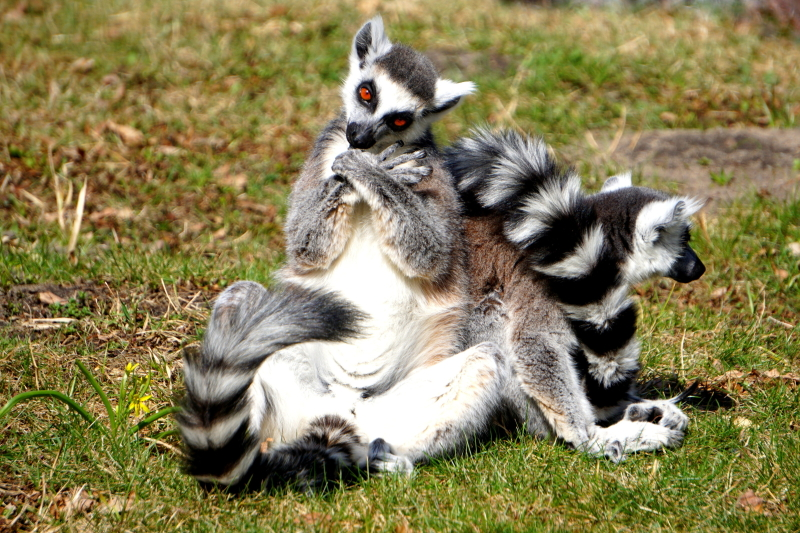 Lemur w pozycji jogina (ZOO Wrocław)