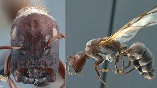 Nowy gatunek mrówek. Potrafią eksplodować, opryskując wroga mazią o zapachu curry
